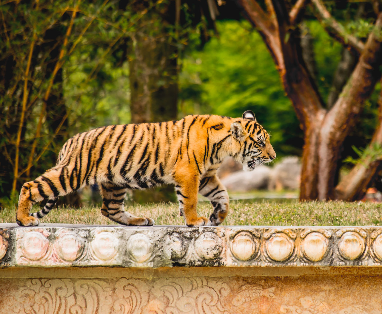 Amazing Animal Animals Beauty In Nature Captivity Cat Day Nature Nature Photography Nature_collection No People Orange Color Predator Sunshine Tiger Wild Wildlife Wildlife & Nature Wildlife Photography Zoo
