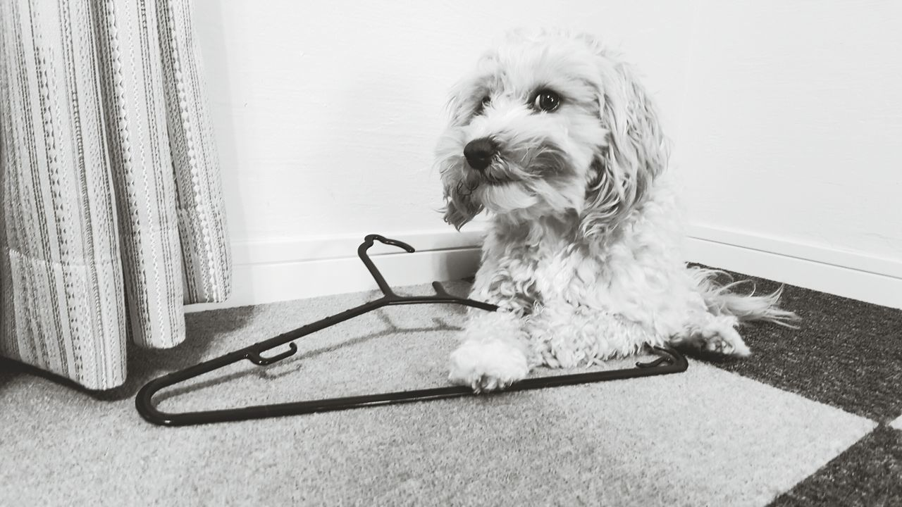 When you see white eyes, don't put your hand out. Lol Pets Dog Domestic Animals One Animal Animal Themes Mammal No People Indoors  Poodle Terrier Day Bad Dog Hanger Clothes Hanger My Dog Cheeky Monochrome Galaxy S6 Edge Pics