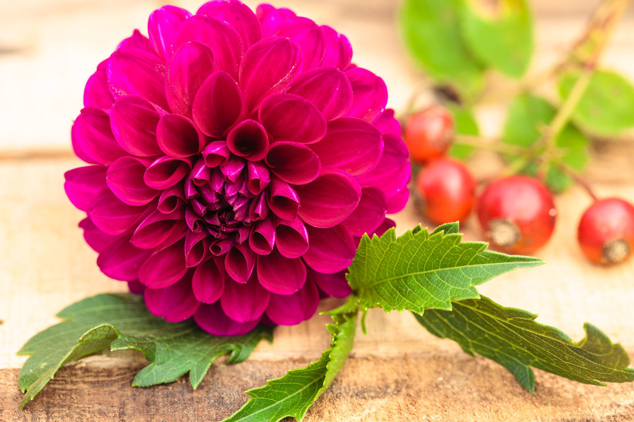 Beauty In Nature Close-up Dahlia Day Floral Arrangement Floral Photography Flower Flower Head Fragility Freshness Green Color Leaf Nature No People Outdoors Plant Red Rose Hips Rose Hips Close Up Red