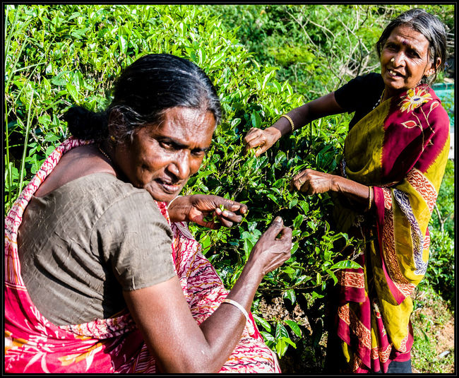 Two women working in the tea plantation near Nuwara Eliya. If you like my photos I would be happy if you follow me just here or on: Google+: https://plus.google.com/u/0/103702436975865939579 Flickr: https://www.flickr.com/photos/mdmove1962/ Greetings from Berlin/Germany Micha D. mail: MOVE1962@gmx.net Adult Ceylon Day Fieldworker Food Freshness Green Growth Happiness Holding Human Hand Micha D. MOVE1962 Nature Outdoors Real People Senior Adult Senior Women Social Documentary Sri Lanka Tea Togetherness Travel Photography Two People Women