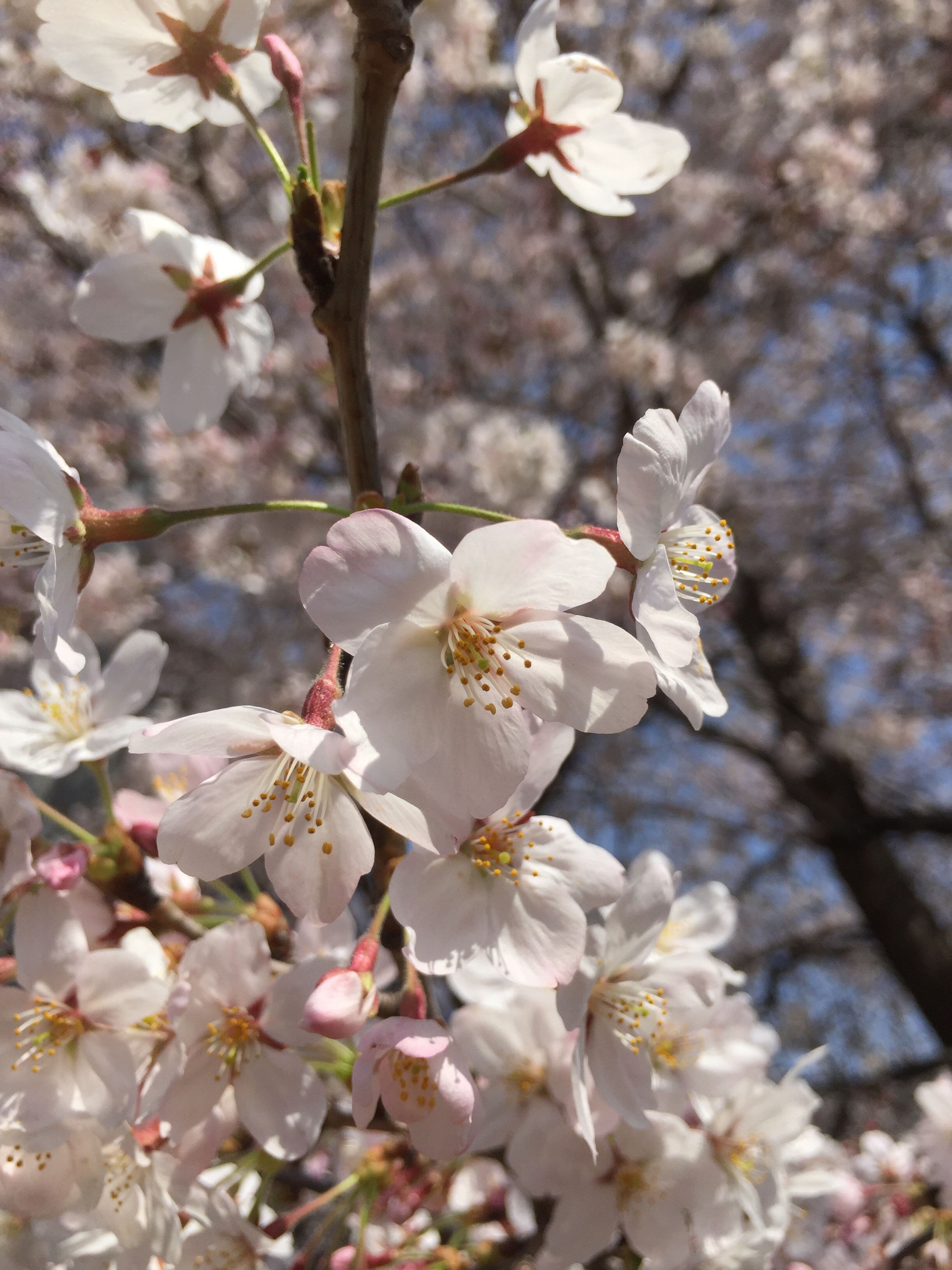 flower, freshness, branch, growth, fragility, cherry blossom, tree, white color, cherry tree, beauty in nature, blossom, petal, nature, focus on foreground, in bloom, twig, close-up, fruit tree, blooming, apple blossom