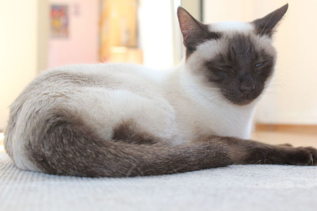 Animal At Home Cat Cat Lying Cat Tail Cats Domestic Animals Domestic Cat Indoors  No People Nofilter One Animal Pets Relaxation Resting Siam Siamcat Siamese Siamese Cat Siamesecat Siamesecats Sleepy Sleepy Cat Tail White
