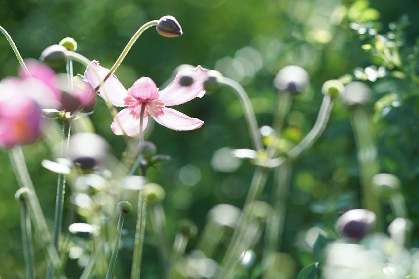Sparkle Delight  Joy Hope Pink Flower Flower Japanese Anemone 秋明菊 Beauty In Nature Yokohama English Garden Yokohama Ai Micro Nikkor 105mm F2.8 Micronikkor 105mm SONY A7ii Masako201709 Micro Nikkor 105mm F2.8 Micro Nikkor 105mm
