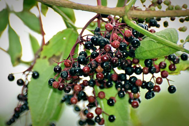 Berries Making Jam Flowers,Plants & Garden Garden Natural Fauna Fruit
