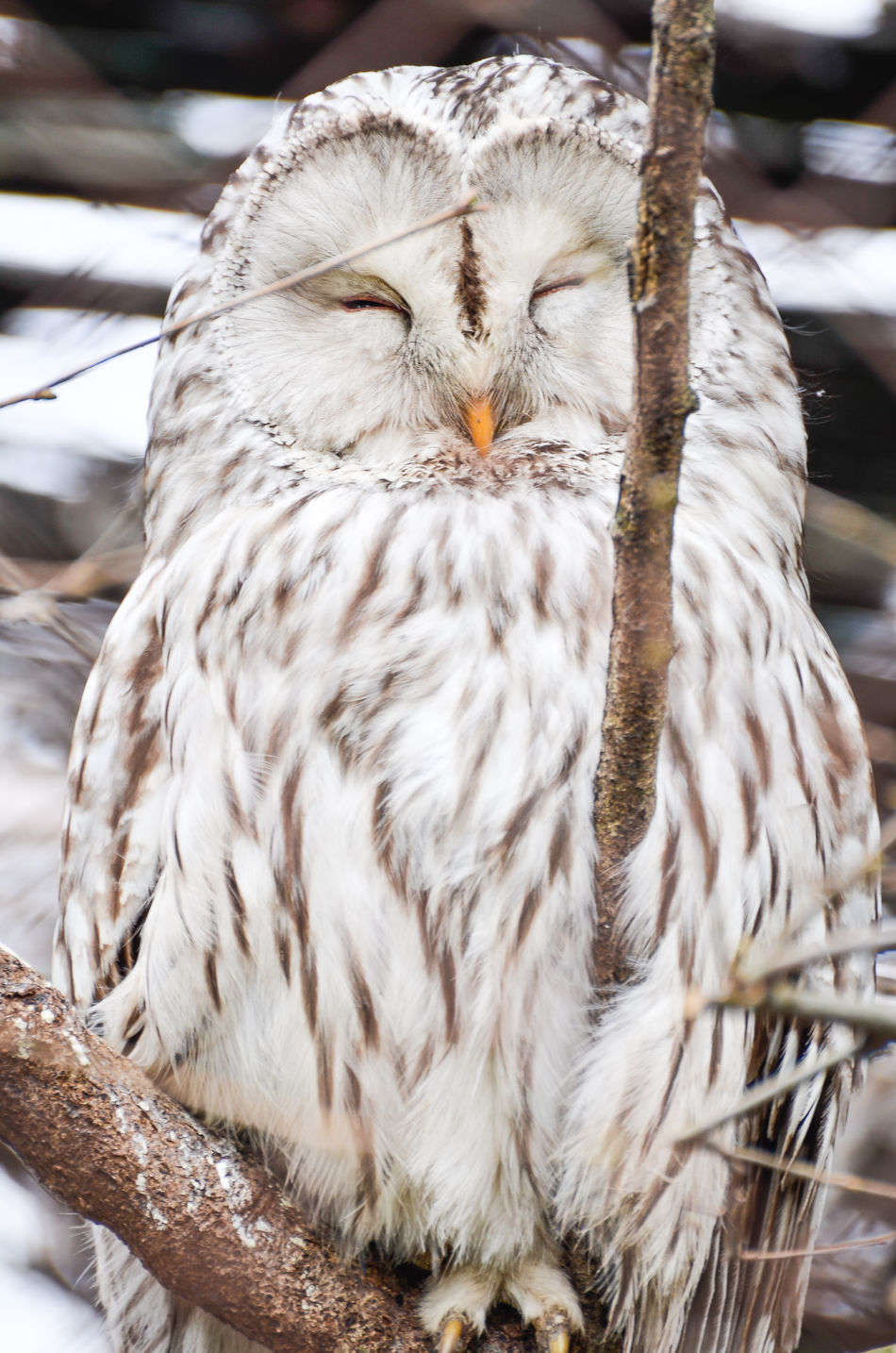 Bubo scandiacus - Snowy Owl is peacefully standing on a rock Animal Themes Bird Bubo Scandiacus Close-up Day Nature No People One Animal Outdoors Owl Snow Snowy Snowy Owl Tree White Wild Wildlife Winter