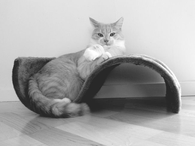 Cat Model Cat Relaxing  Cat Posing Black And White Portrait Cat Chilling Eyeemphoto