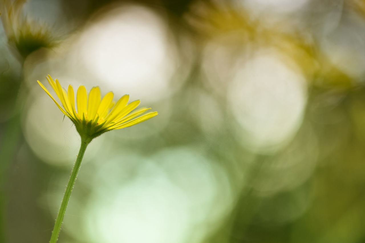 Beauty In Nature Blooming Buttercup Close-up Crowfoots Day Flower Flower Head Fragility Freshness Growth Leaf Nature No People Outdoors Petal Plant Ranunculus Flower Yellow