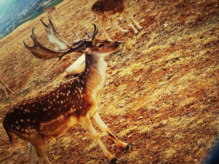 Deer lebanon kefraya very beautiful People Watching Walking Around Enjoying The Sun Taking Photos
