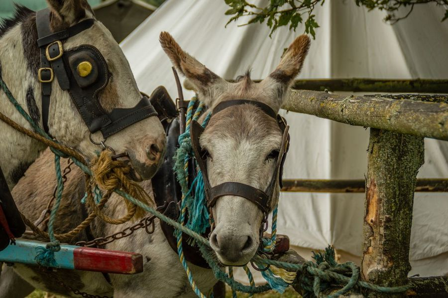 Outdoors Walking Around Countryside Vintage Fair Hollywood, Wicklow Ireland Donkeys Great Outdoors Taking Photos