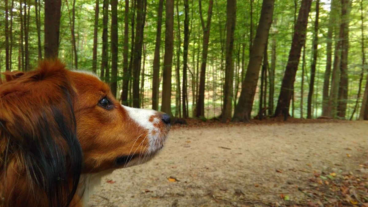 eager to keep going. Forest One Animal Animal Themes Domestic Animals Animal Head  WoodLand Animal Pets Relaxation Nature Outdoors Kooikerhondje  Kooiker