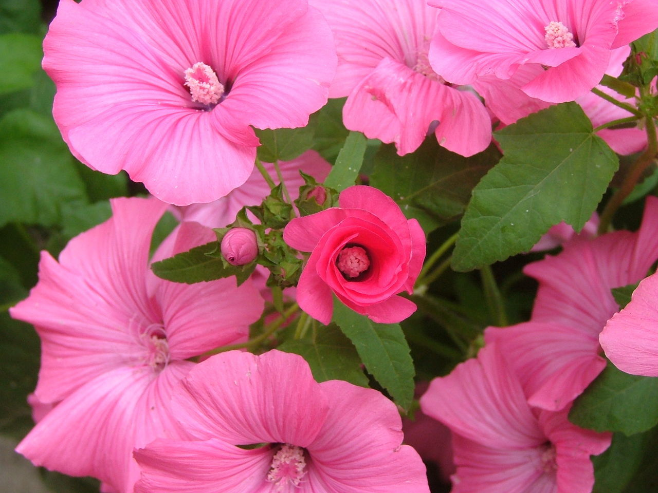 Close-Up Of Pink Flowers Growing Outdoors