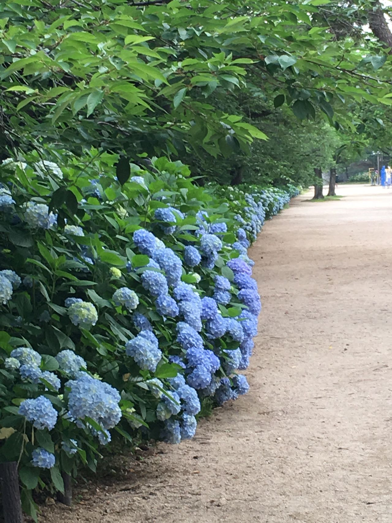 Hydrangea Blue Blue Flowers Park 夙川 Rainy Season Green Japan