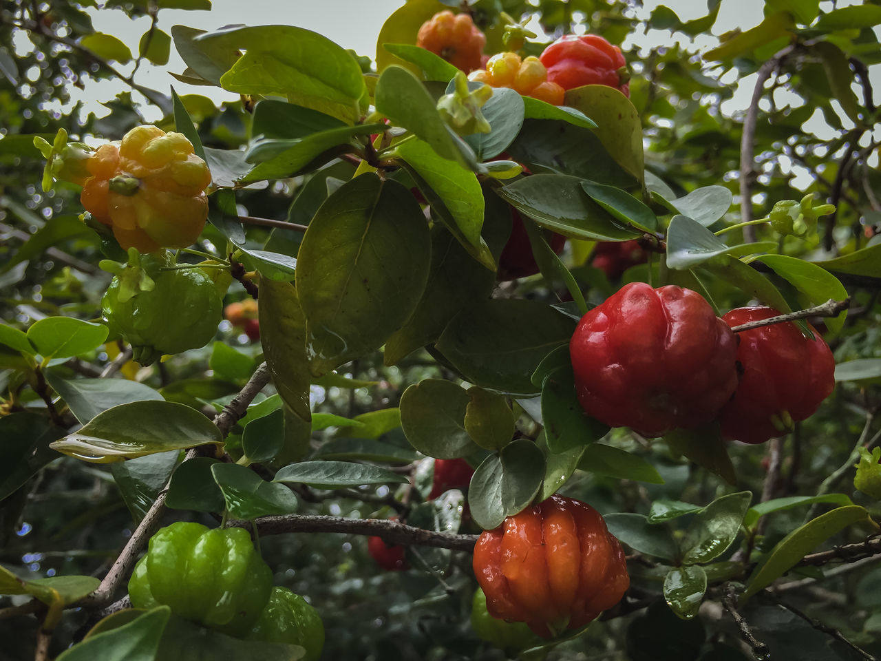 Surinam cherries in various stages of ripeness Branch Close-up Focus On Foreground Food Freshness Fruit Fruit Photography Fruit Tree Growing Healthy Eating Low Angle View Red Ripe Surinam Cherries