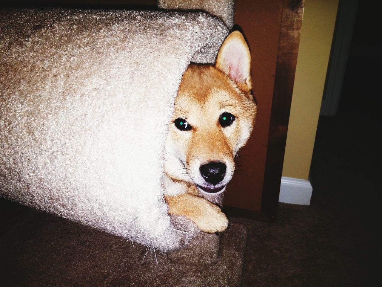 EyeEm Selects Dog In A Cat Tree Shiba Inu Dog Pets Close-up Pet Portraits