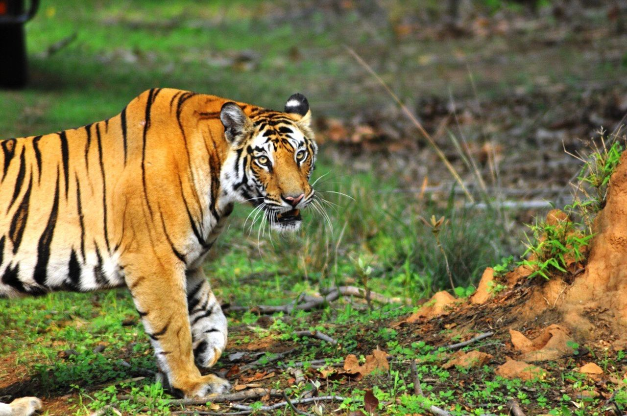 43 Golden Moments Original Experiences My Favorite Picture  Tigers Wildlife Wild Jungle Forest Feline Big Cat Majestic Animals Bandhavgarh National Park Bandhavgarh Madhyapradeshtourism Madhyapradesh India Incredible India