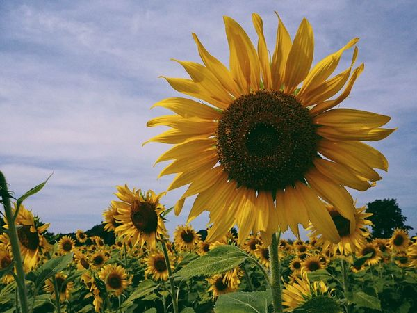 Flower Fragility Petal Growth Plant Flower Head Yellow Sunflower Nature Freshness Beauty In Nature Pollen Sky Blooming Field Day Outdoors No People Coneflower Black-eyed Susan