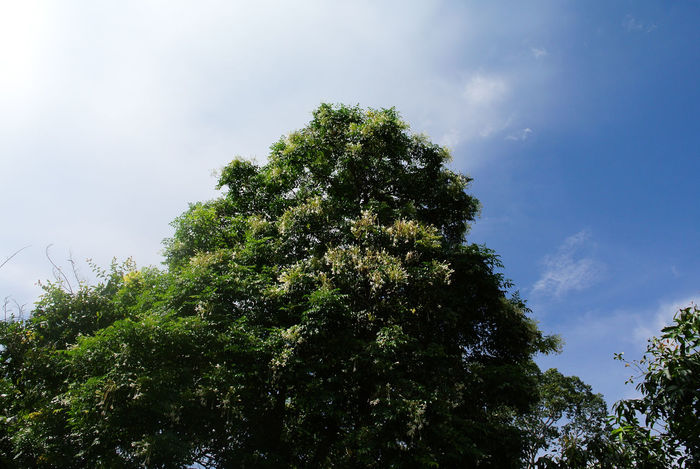 Neem tree Beauty In Nature Branch Day Flora Flower Forest Green Color Growth Low Angle View Nature Neem Tree No People Outdoors Scenics Sky Tranquility Tree
