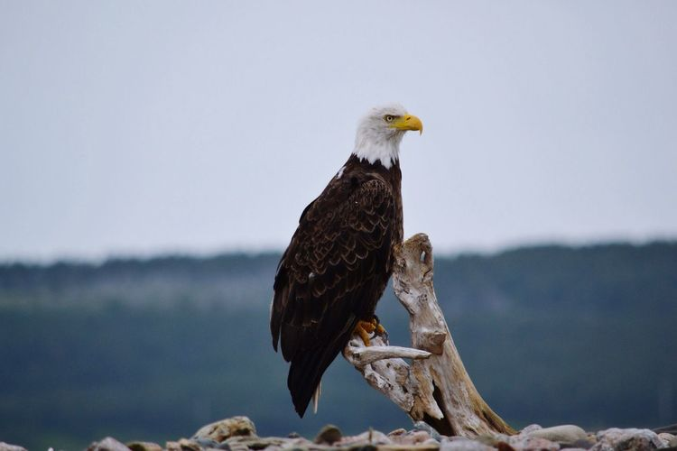 Beautiful Eagle By The Beach Bald Eagle Magestic Bird Confident Glare