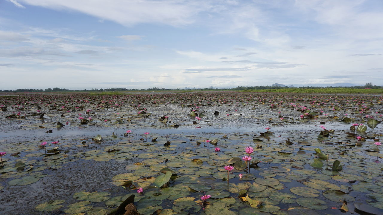 Lotus Water Lilies In Pond Against Cloudy Sky