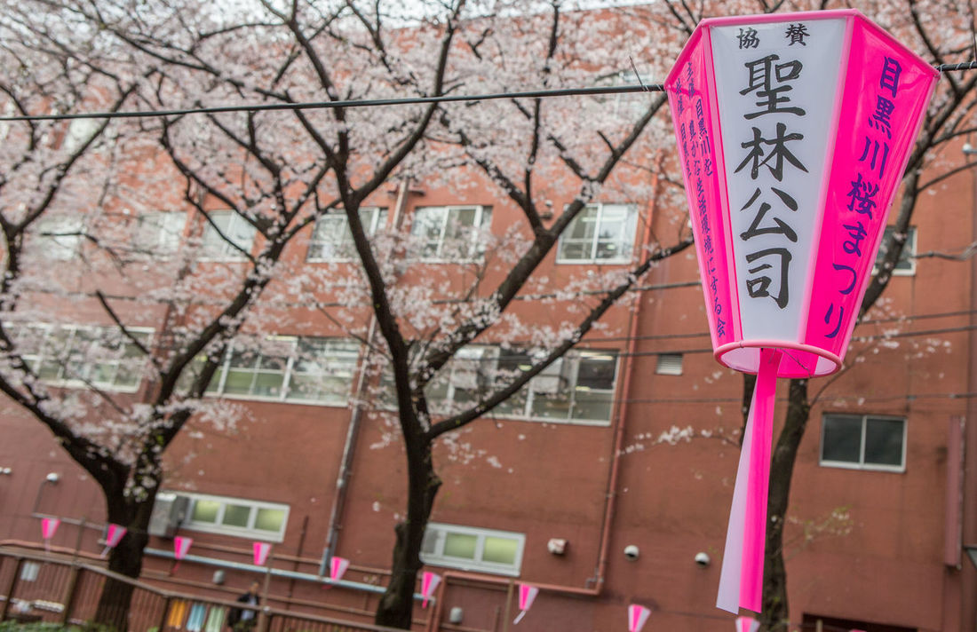 TOKYO, JAPAN - APRIL 1ST, 2016. Japanese paper lanterns and cherry blossoms at the street of Meguro River, during Japan's annual cherry blossom festival. Beautiful Blosssom Cherry Day Festival Floral Flowers Japan Lantern Meguro Nature Paper River Sakura Scenery Season  Spring Tokyo Tourism Tourism Destination Travel
