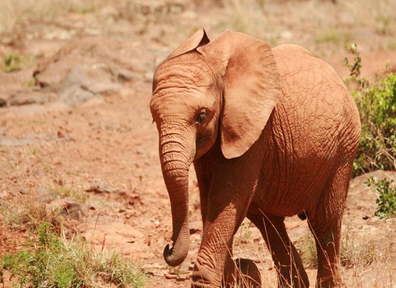 African Elephant Animal Themes Animal Trunk Animal Wildlife Animals In The Wild Day Elephant Elephant Calf Full Length Grass Landscape Mammal Nature No People One Animal Outdoors Safari Animals Standing Tusk
