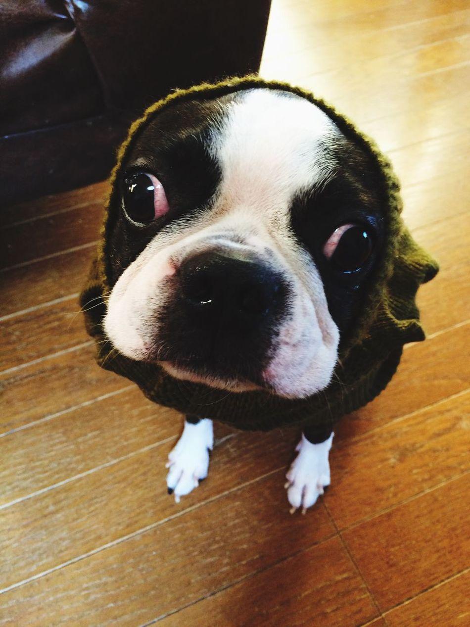 ナナホシ Dog Ilovemydog Buhi Bostonterrier I Love My Dog ボストンテリ Boston Terrier