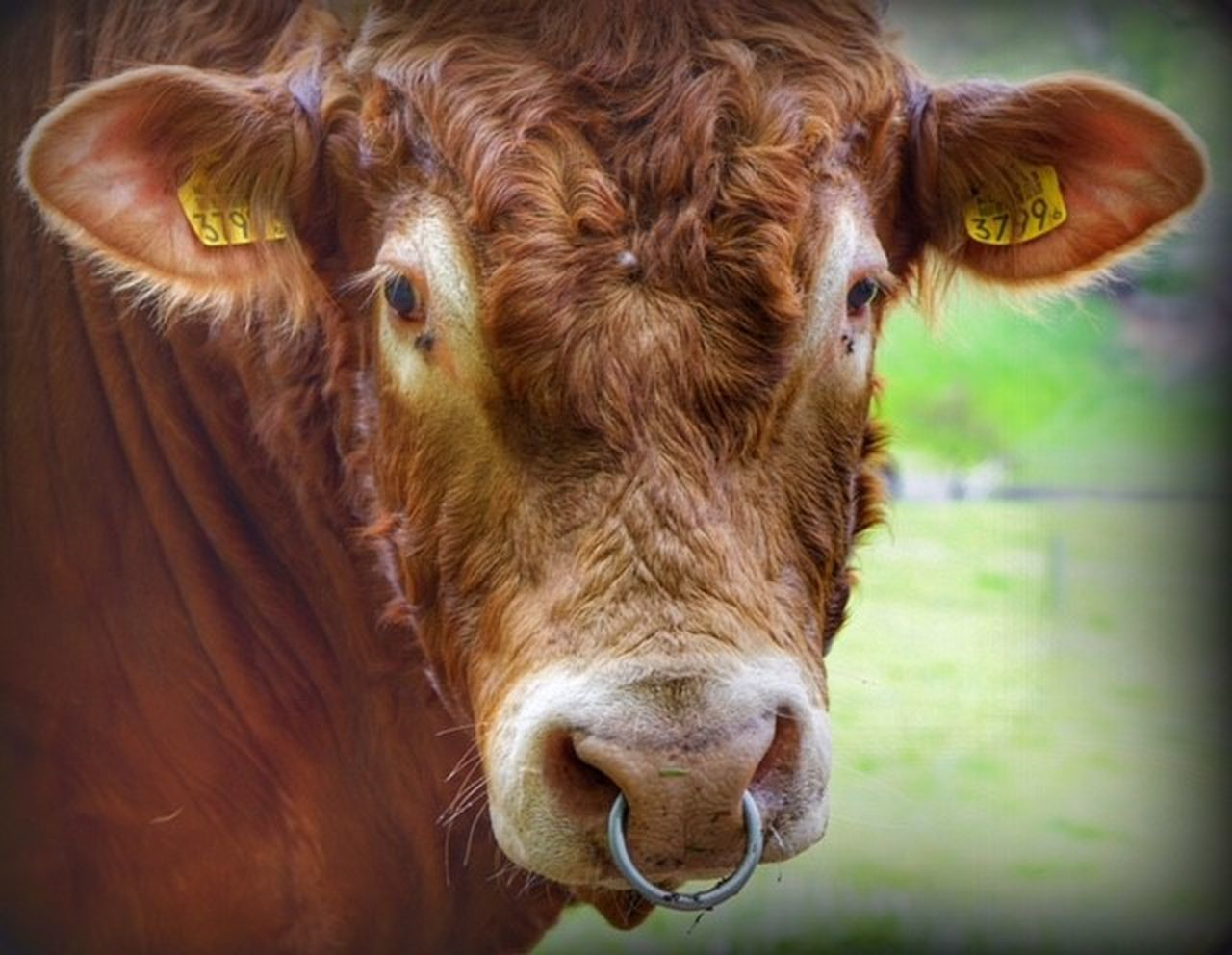 Animal Head  Animal Themes Brown Cattle Close-up Cow Day Domestic Animals Domestic Cattle Highland Cattle Livestock Looking At Camera Mammal No People One Animal Outdoors Portrait