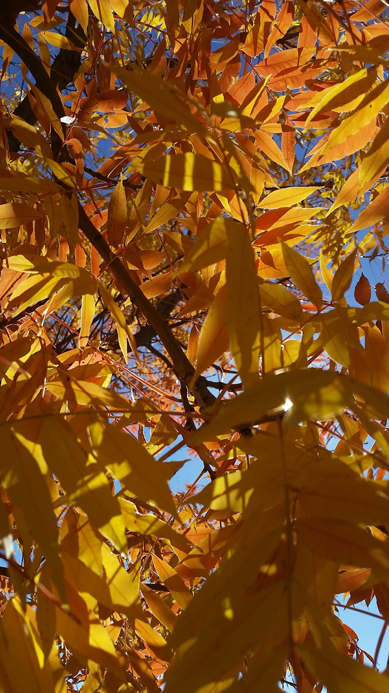 Beauty In Nature Tree Close-up Sky Day Blue Sky Yellow Leaves Unfiltered Untouched Photo