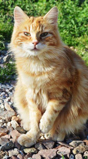 Animal Themes Pets Feline Nature Domestic Animals Domestic Cat One Animal Cat Lovers Cats 🐱 Animals Arancione Orange