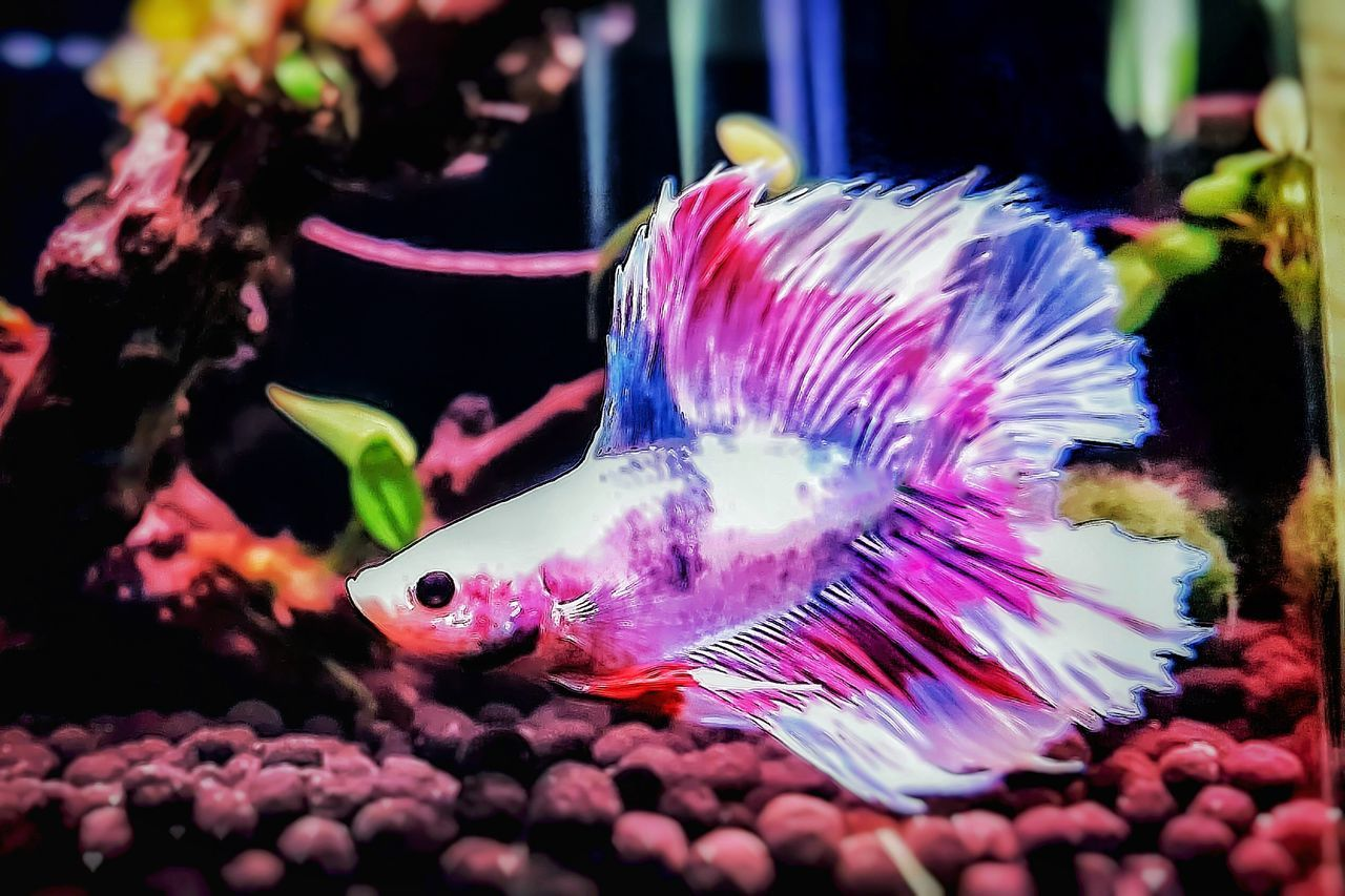 Multi Colored Close-up Siamese Fighting Fish Betta Fish Betta Lovers Bettafishcommunity Beta