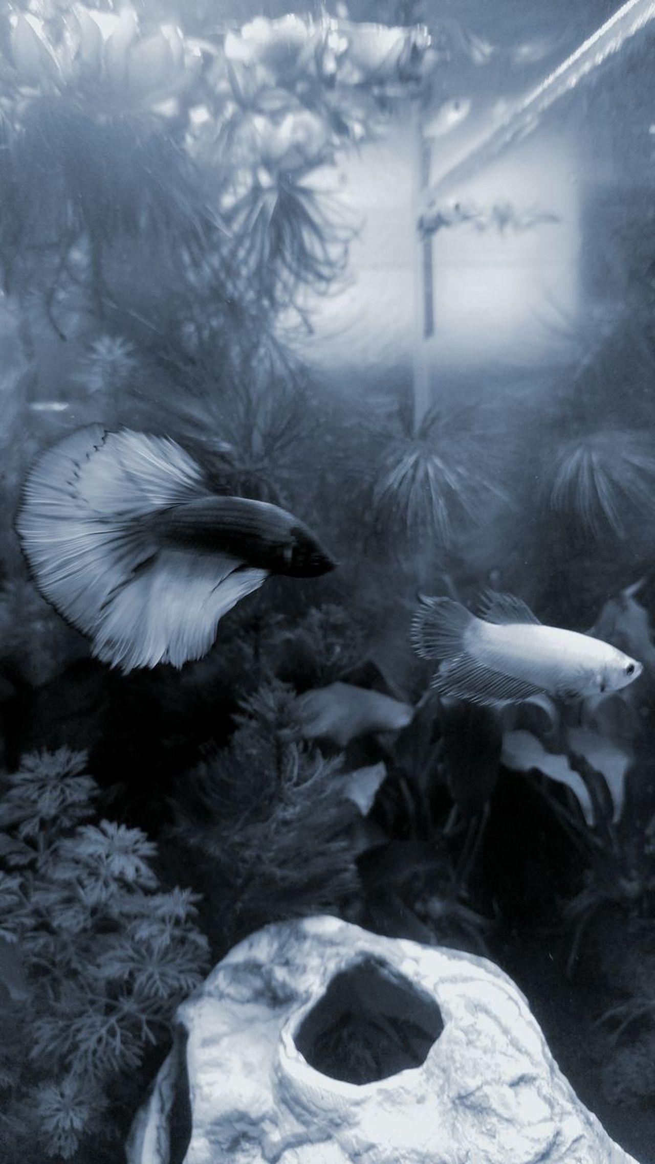 Underwater Nature Swimming Water Beauty In Nature Animal No People Bettasplendens Pairs Beauty In Nature Aquarium Life EyeEmNewHere Fighting Fish Underwater World Aquarium Pets Swimming Fish Animal Themes