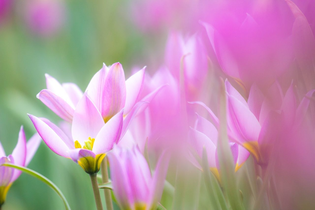 Close-Up Of Pink Flowers Growing On Field