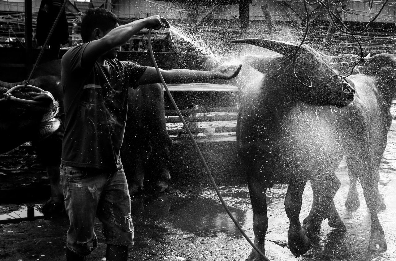 Traders bathe buffalo at Bolu Market, Rantepao, North Toraja, South Sulawesi, Indonesia. In Toraja, buffalo prices can reach hundreds of millions to one billion. Buffalo is usually used for burial rituals in Toraja. Cows Breeders Tourism Travel Destinations Toraja Toraja Indonesia Toraja Utara Torajapict Pasar Bolu Bufallo market place Market Indonesia_photography INDONESIA Southsulawesi People Blackandwhite Blackandwhitephotography Animals Break The Mold Art Is Everywhere EyeEmNewHere TCPM