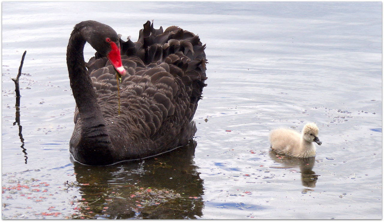 Animal Themes Animals In The Wild Beauty In Nature Black Swan Day Kaikoura Lake Mammal Mother And Child Mother Nature Is Amazing Nature Newzealand No People Outdoors Swan Swimming Water Waterfront