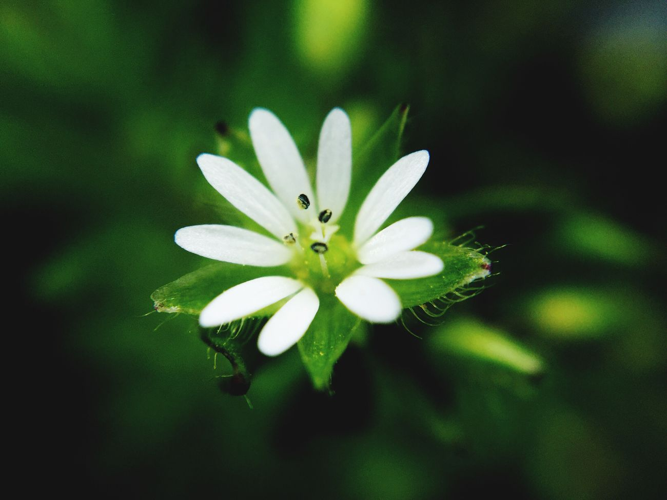 Common chickweed Nature Weed Common Outdoors Macro Macro Photography Baltimore