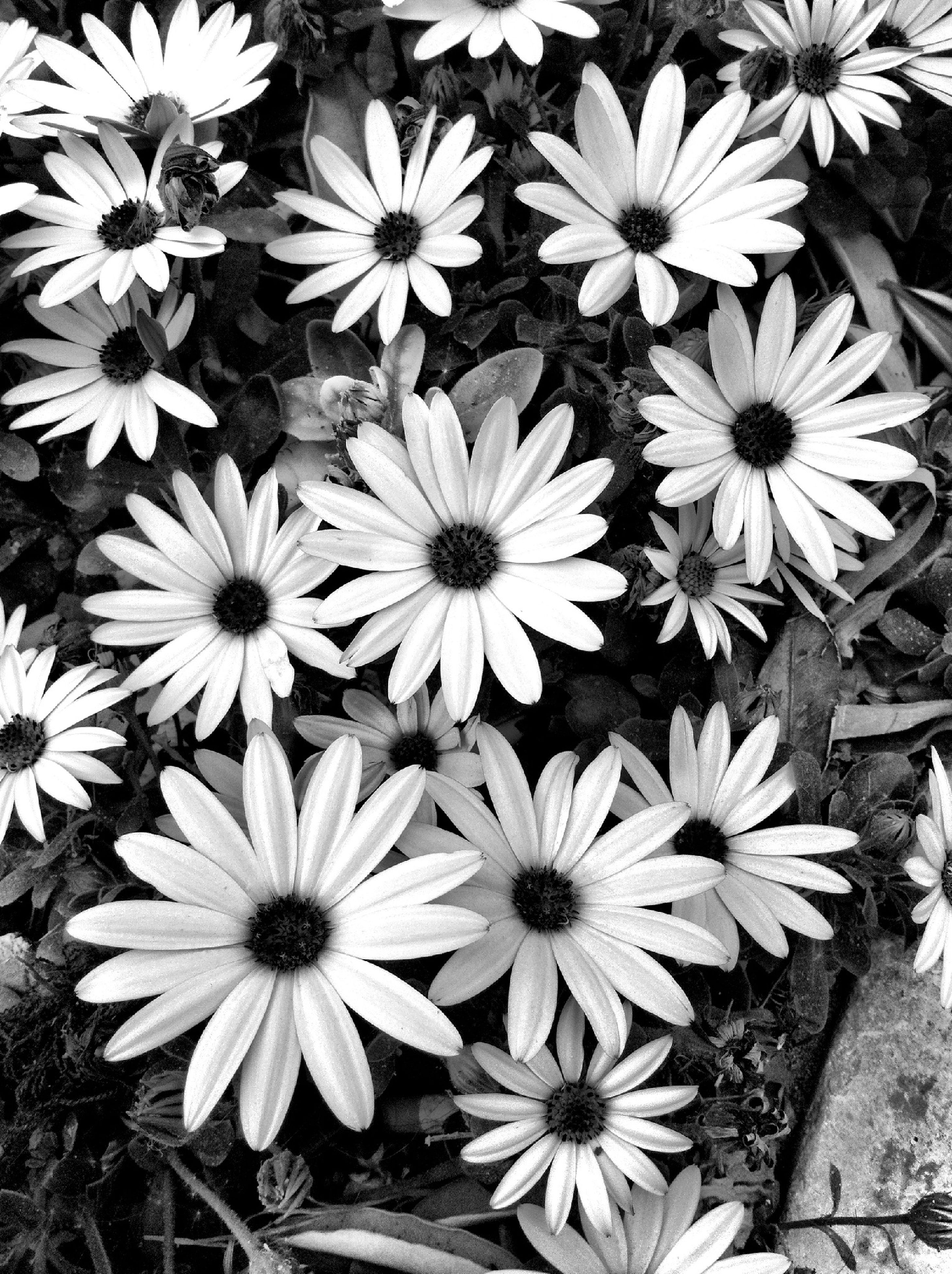 flower, freshness, petal, fragility, growth, flower head, plant, beauty in nature, high angle view, blooming, nature, white color, field, in bloom, close-up, day, outdoors, no people, pollen, daisy