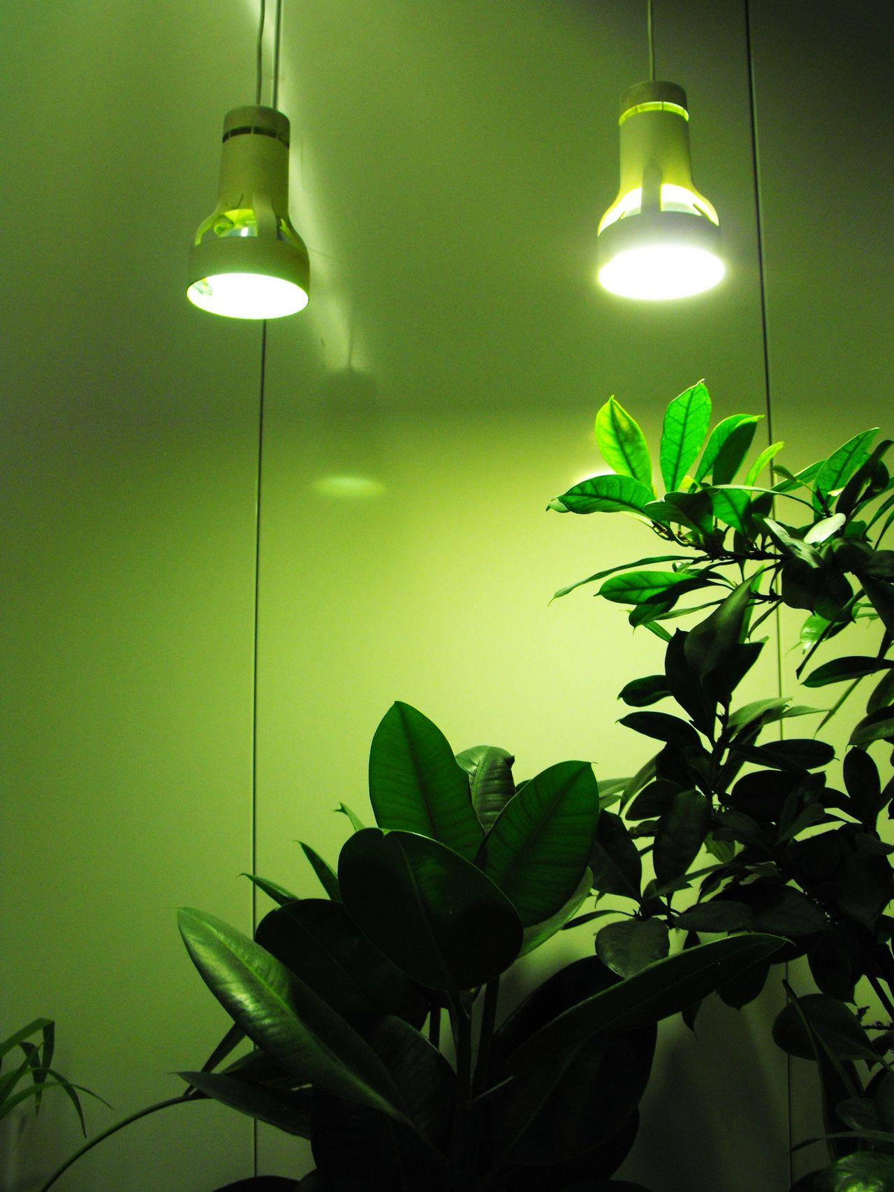 ... an Indoor Garden ... Green Color Leaf Plant Adapted To The City Indoors  Lighting Equipment Illuminated No People Nature Indoor Garden Indoor Gardening Ficus Tree Lamps Houseplant Houseplants Growing Artificial Light Leaves Green Spotlight On Wall Gardening Nature In The City зелень
