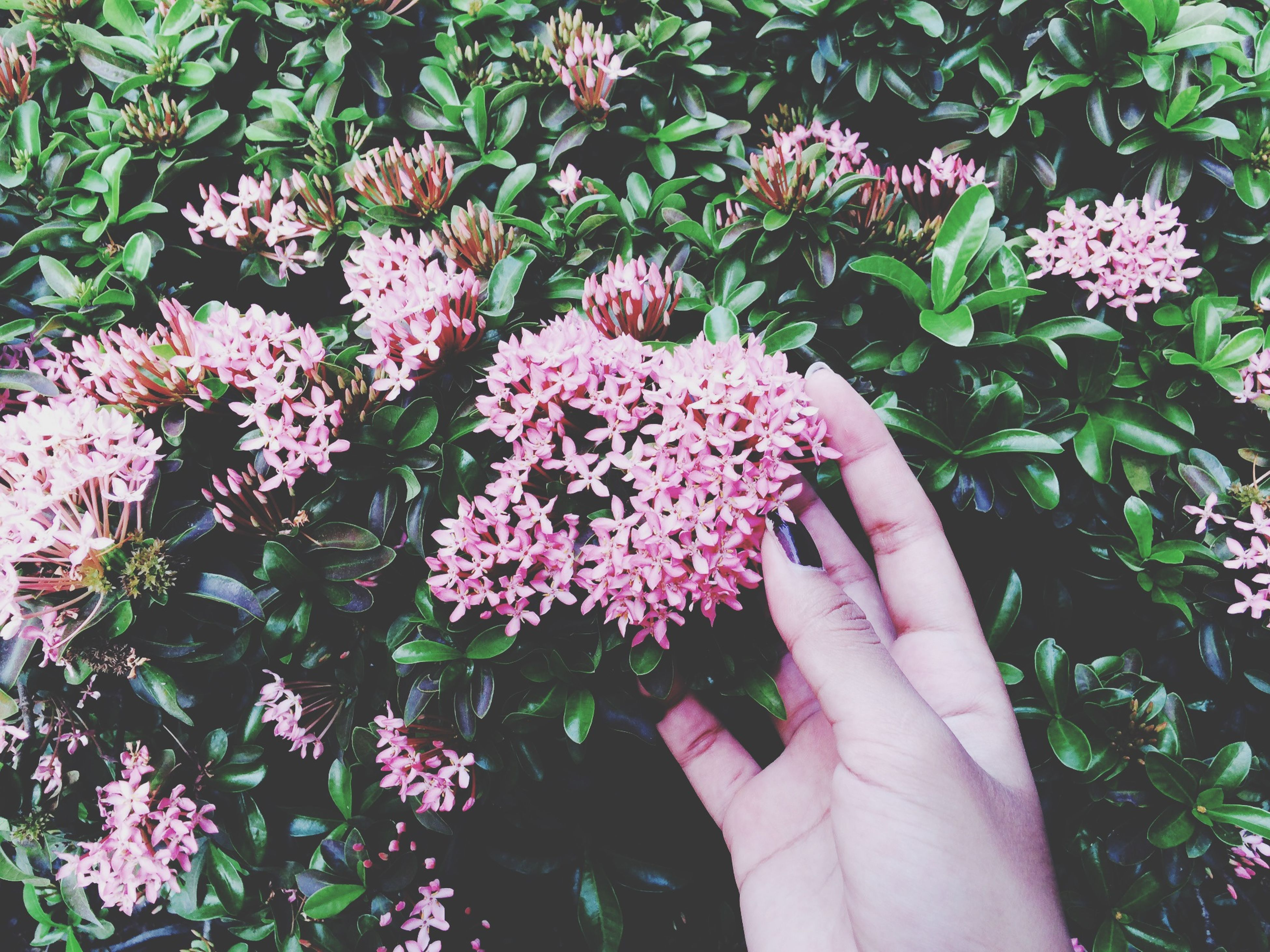 flower, petal, freshness, fragility, growth, flower head, person, pink color, plant, beauty in nature, nature, part of, blooming, high angle view, leaf, close-up, in bloom