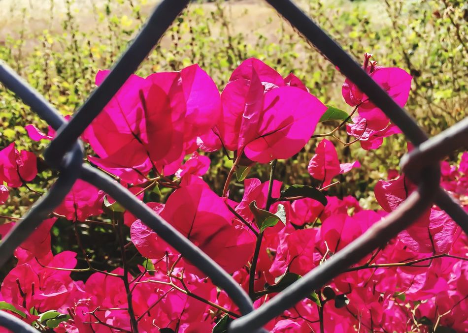 Bougainvillea in field through metal fence Flower Pink Color Nature Fragility Petal Growth Beauty In Nature Freshness Plant No People Outdoors Day Flower Head Close-up Veins Of Flowers Spring Flowers Gentle Separation Fence EyeEmNewHere Field Background Back Lit Outside Red