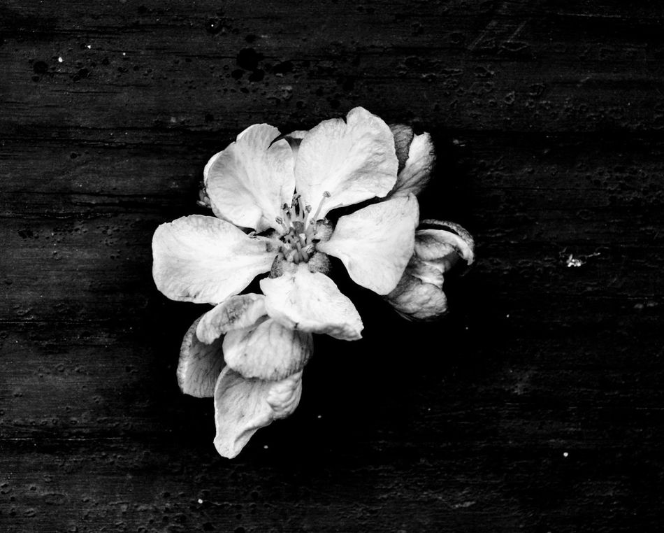 Nature Flowers, Nature And Beauty Black And White Photography Flower White Flower Collection Flower Close Up Flower Blossom Flower Apple Blossom