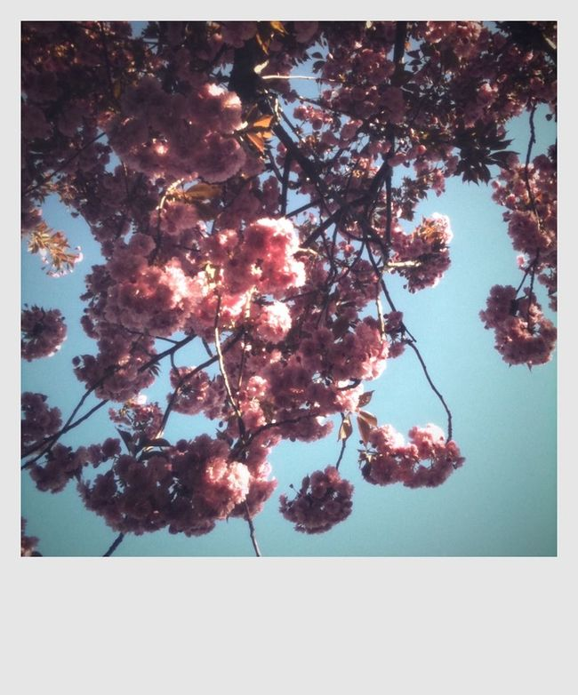 Blossom Blue And White Blue Sky Botany Branch Cherry Blossoms Flower Freshness Growing Nature Traveling Trees In Sunshine Twig