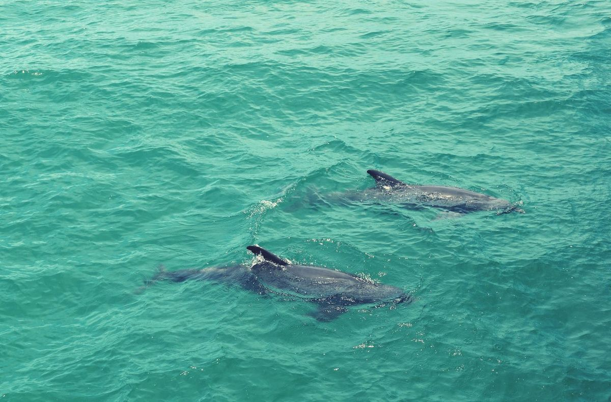 Dolphin playing Sea Animal Themes Animals In The Wild Fish Water Animal Wildlife Swimming No People Sea Life Animal Fin Outdoors Nature Dolphin Mammal Day EyeEm Selects