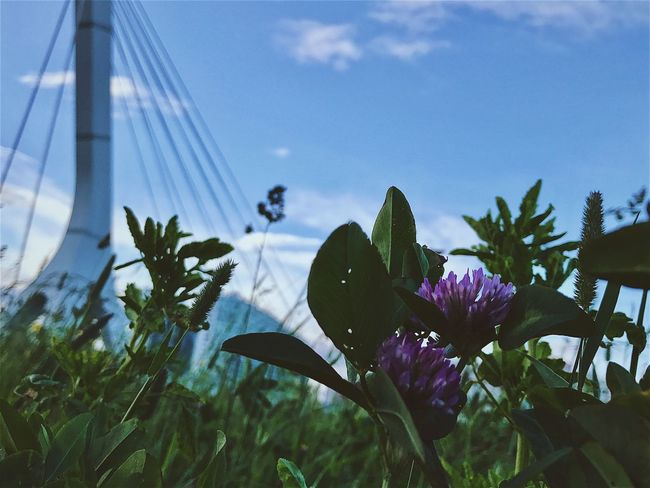 Flower Growth Plant Leaf Nature No People Sky Day Outdoors Beauty In Nature Focus On Foreground Freshness Fragility Close-up Flower Head Tree Water вантовый Bridge