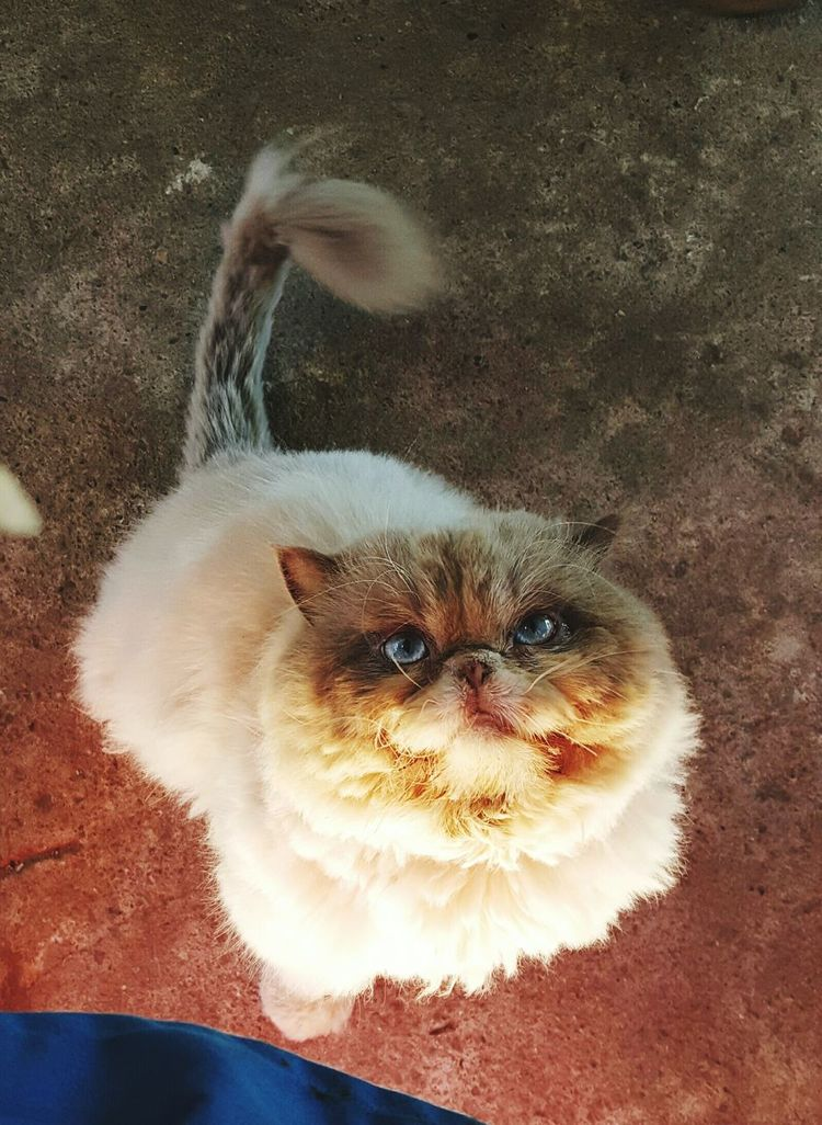 My cat Pets Animal Themes Domestic Animals Domestic Cat One Animal Mammal Looking At Camera Feline Portrait No People Close-up Indoors  Day Cat persain Persain