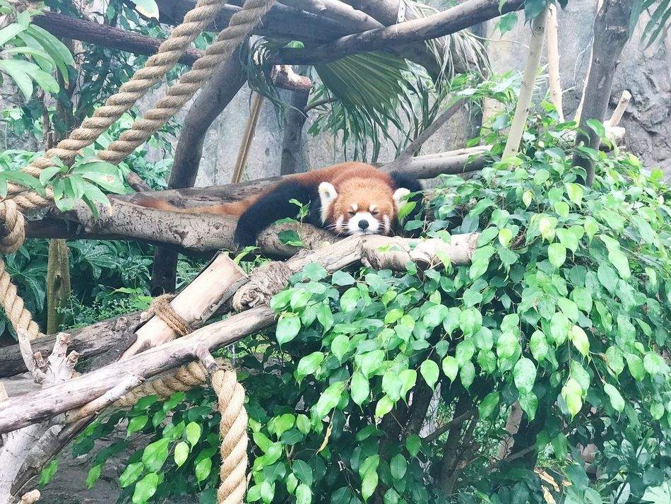 Tree Branch Animal Themes Animals In The Wild Day Outdoors No People Relaxation Tree Trunk Mammal Nature Ocean Park HK Hong Kong Red Panda