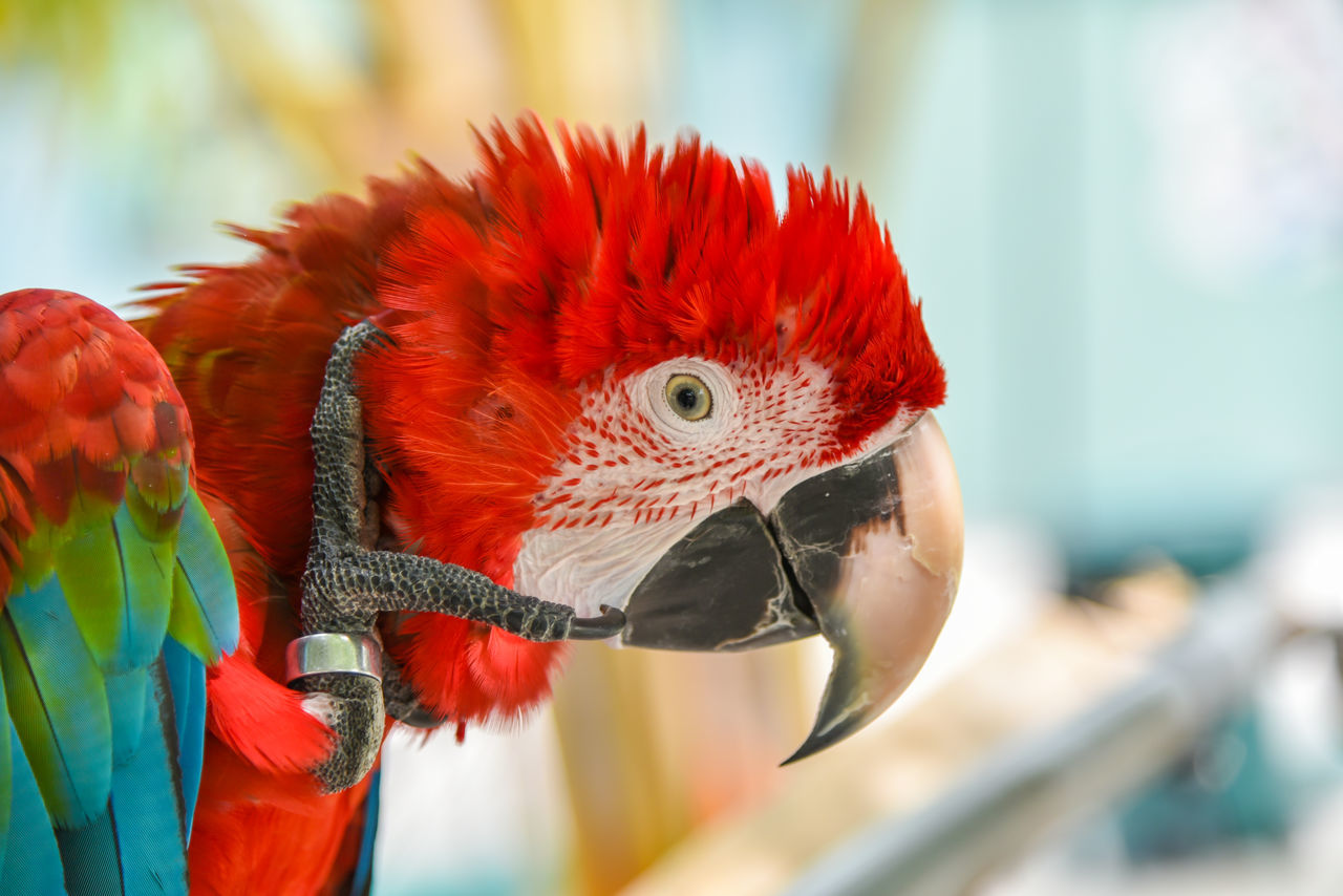 bird, one animal, parrot, scarlet macaw, animal themes, focus on foreground, animals in the wild, animal wildlife, red, macaw, close-up, beak, no people, day, beauty in nature, nature, outdoors, perching, rainbow lorikeet