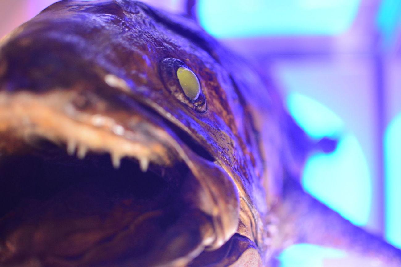 Hello World Japan Fish Monster Aqarium Close-up Nature Coelacanth No People Indoors
