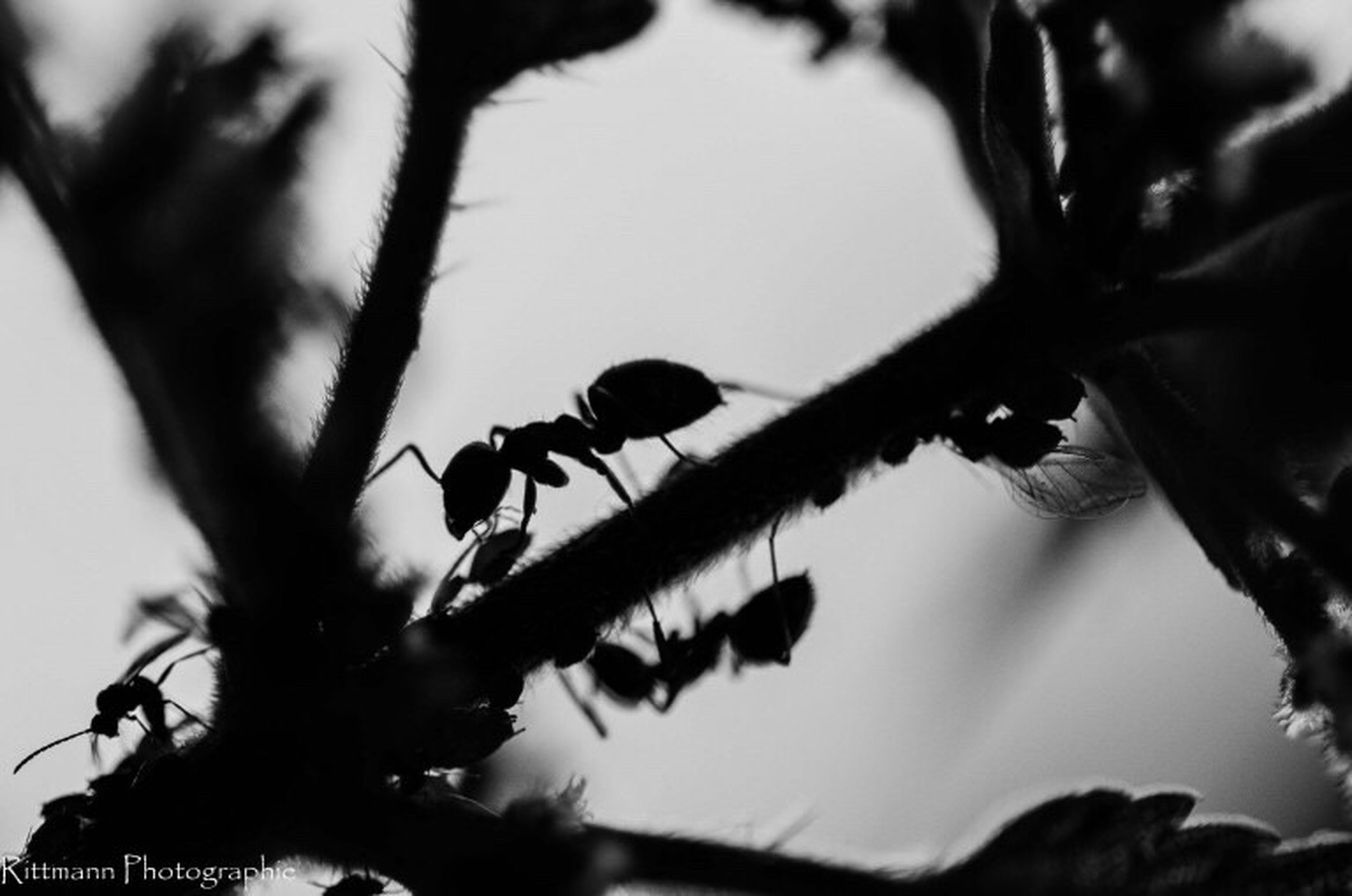 insect, animal themes, animals in the wild, one animal, close-up, animal wildlife, ant, nature, silhouette, no people, outdoors, day