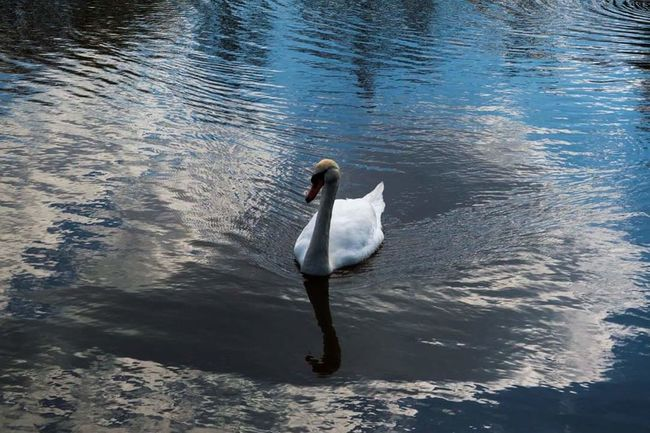 Hanging Out Taking Photos Check This Out Hello World Relaxing Enjoying Life Water_collection Lake Swan Spring Reflection