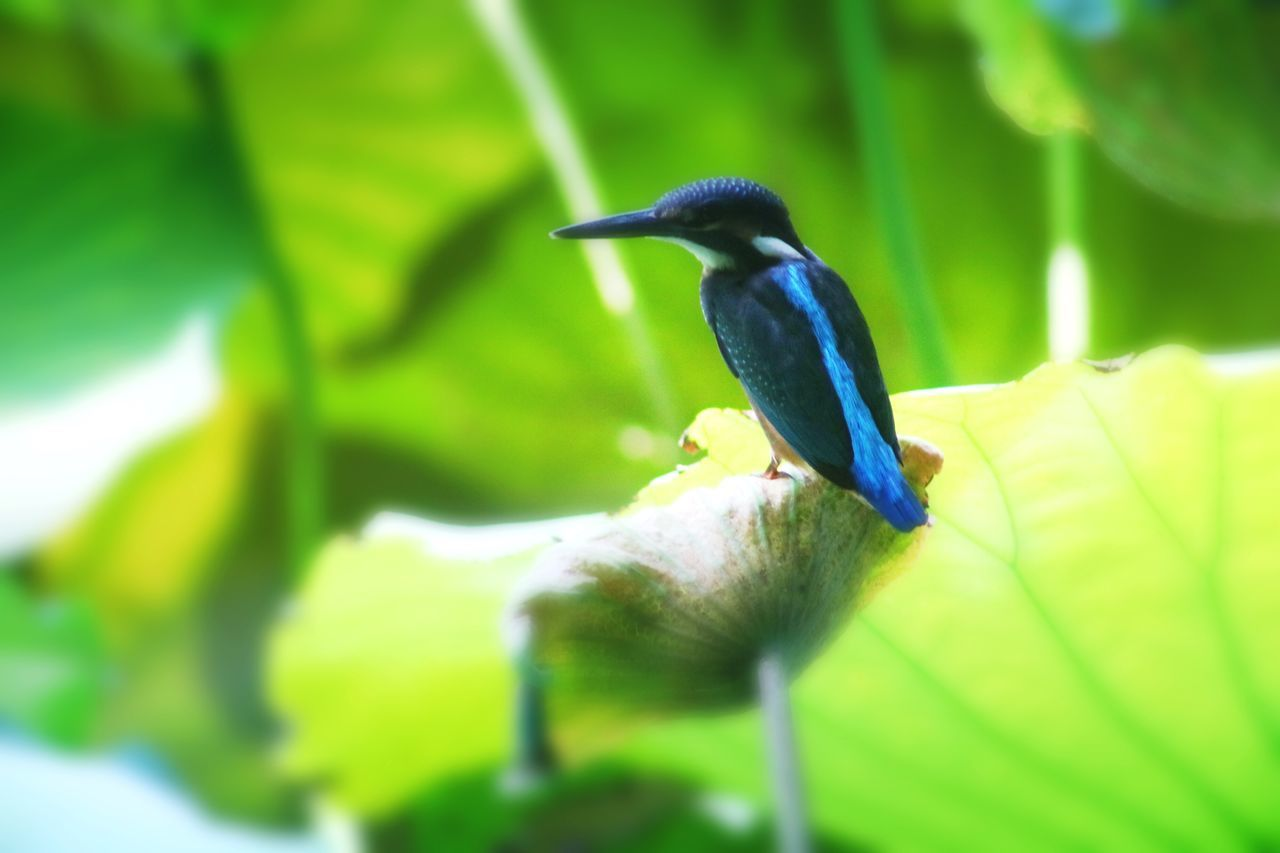 one animal, animal themes, animals in the wild, bird, animal wildlife, perching, selective focus, nature, green color, focus on foreground, day, no people, outdoors, close-up, beauty in nature, kingfisher, growth